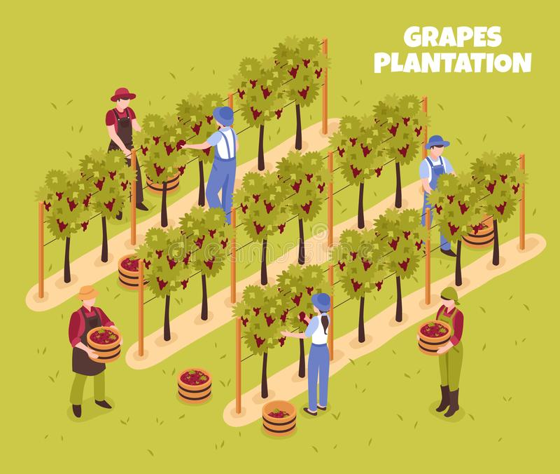 Grapes Plantation Isometric Illustration royalty free illustration