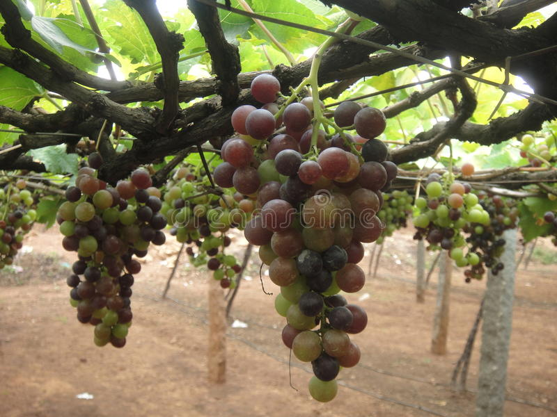Grapes in plantation royalty free stock photography