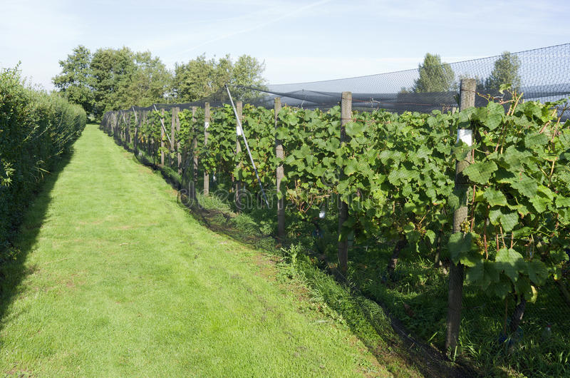 Grapes plants are protected by a protective net in a vineyard. Grapes plants are protected by a protective net in a vineyard in Ter Aar in Netherlands royalty free stock photos