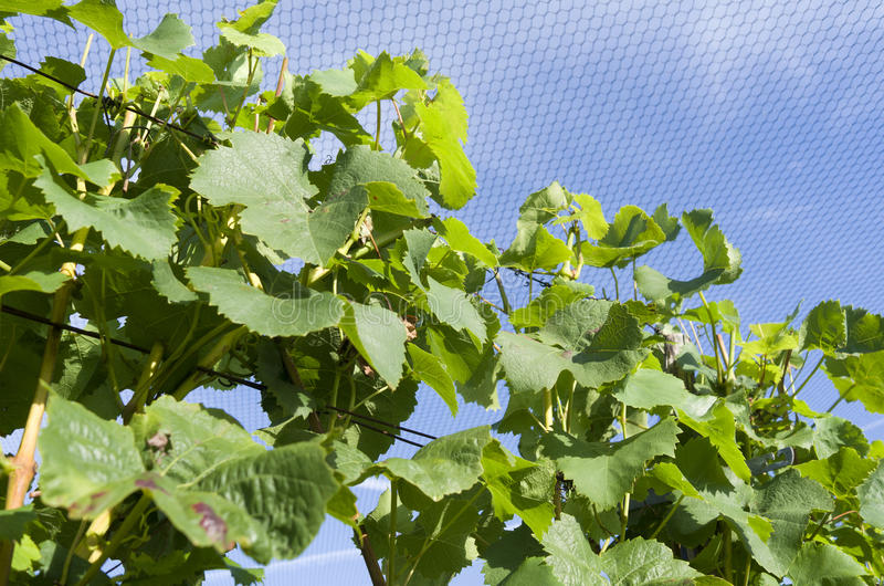 Grapes plants are protected by a protective net. Grapes plants are protected by a protective net in a vineyard in Ter Aar in Netherlands stock photography