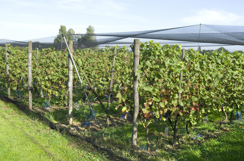 Grapes plants are protected by a protective net. Grapes plants are protected by a protective net in a vineyard in Ter Aar in Netherlands royalty free stock photos