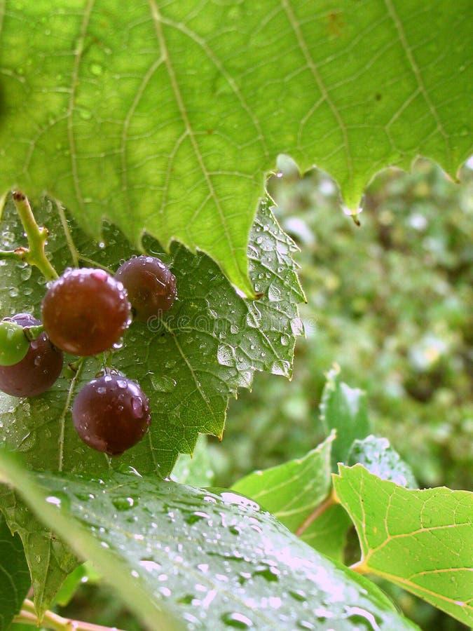 Grapes in the rain stock image