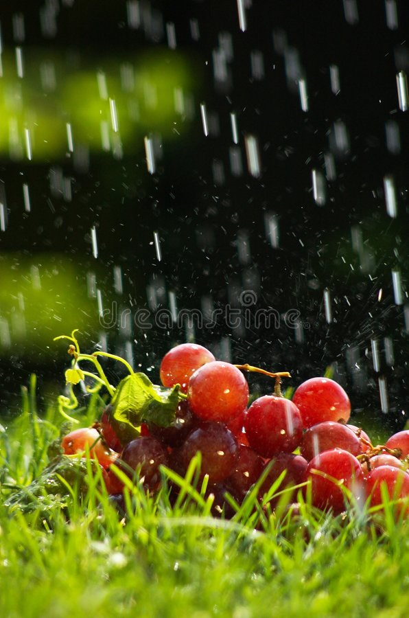 Grapes in the rain. Red grapes laying on the grass in spring rain royalty free stock images
