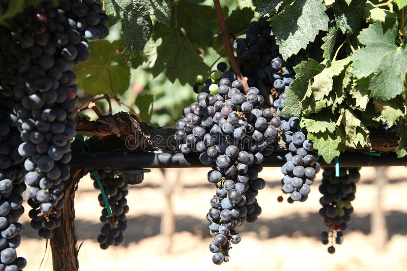 Grapes ready for Harvest. Black grapes in the Alt Penedes region of Spain just before harvest royalty free stock image
