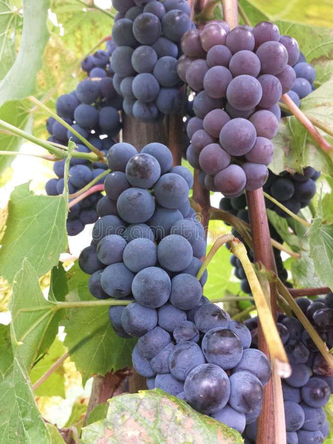 Grapes of red wine species Blue Portugal stock images