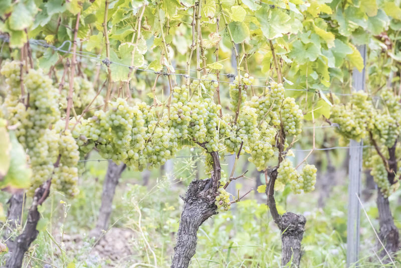 Grapes for Riesling, Germany royalty free stock photo