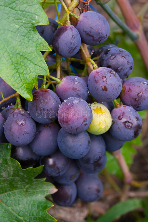 The grapes stock image