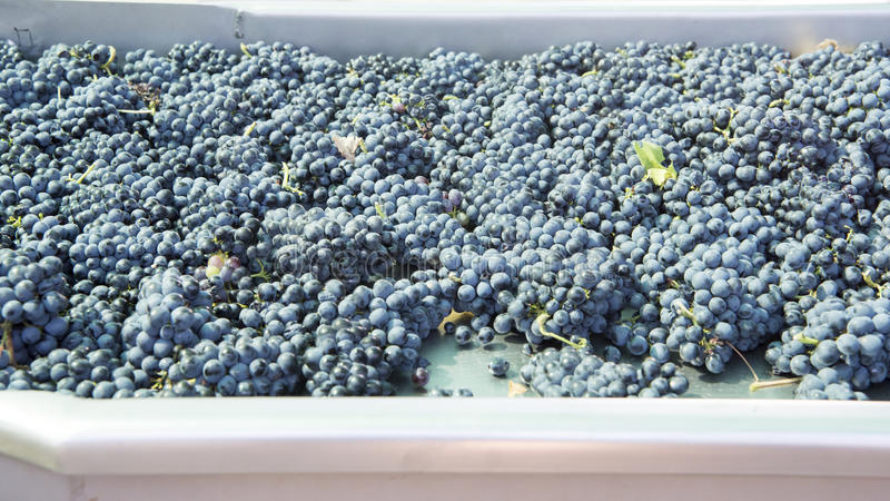 Harvested blue grapes for selection on tablet in South Africa. Freshly harvested ripe grapes waiting for rejecting leaves and unripe or overripe grapes in Paarl royalty free stock photos