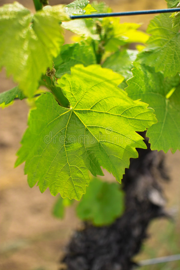 Download Grapes in spring stock photo. Image of market, glowing - 780692