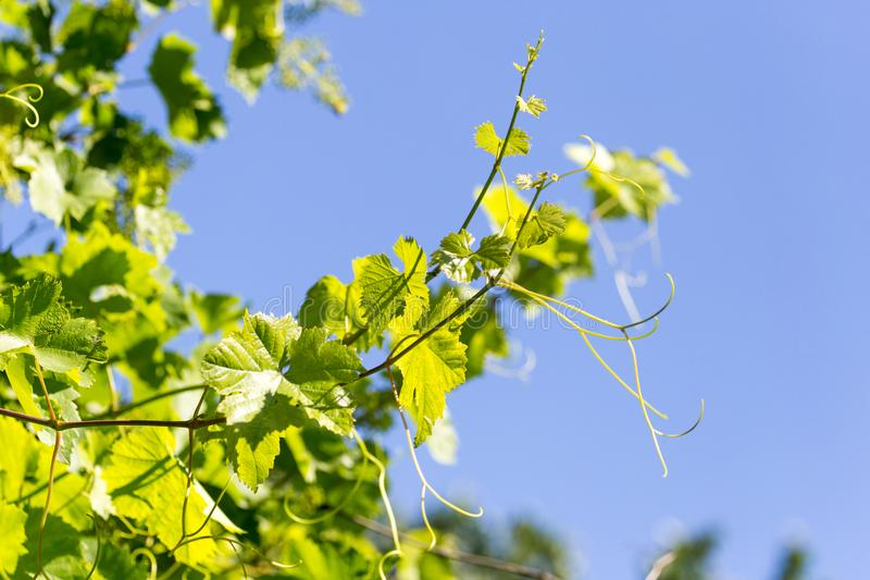 Grapes in spring in nature royalty free stock image