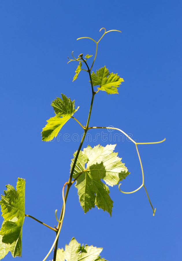 Grapes in spring in nature royalty free stock images