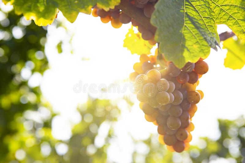 Grapes in Sunlight. In a vineyard hanging at a vine royalty free stock image