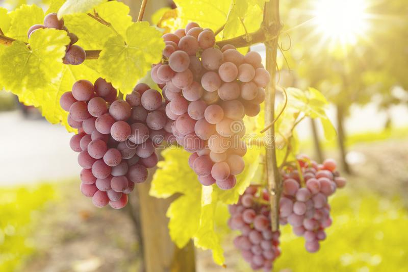 Grapes in Sunlight stock photo