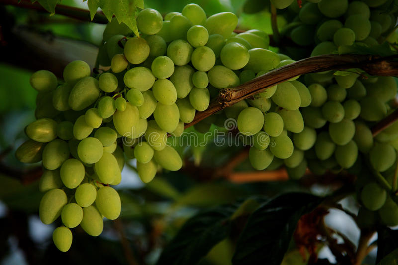 Grapes on tree stock photography