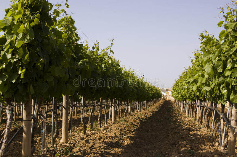 Grapes trees royalty free stock images