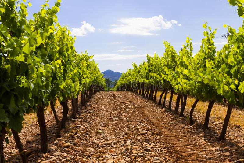 Grapes Valley In Spain Stock Photography