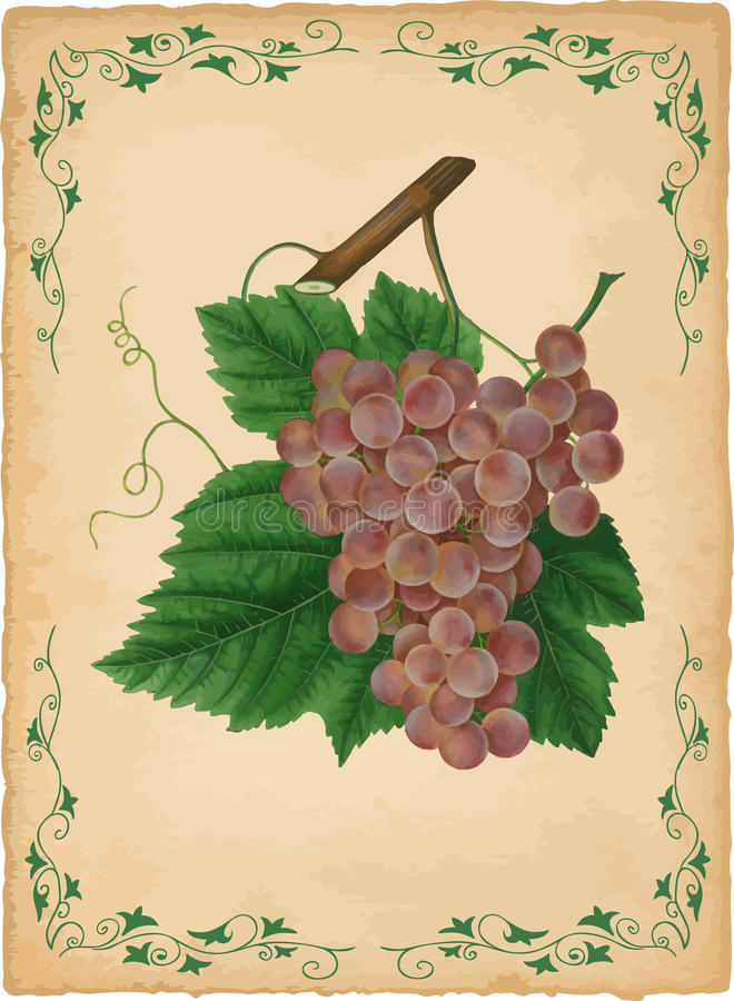 Download Grapes vector illustration stock vector. Image of product - 9880572