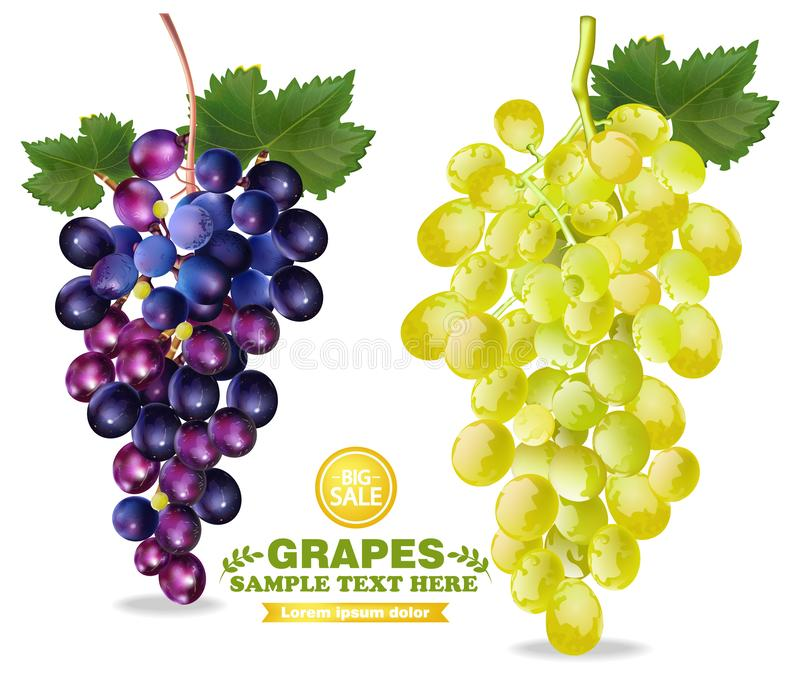 Grapes Vector realistic isolated bunch 3d detailed illustrations stock illustration