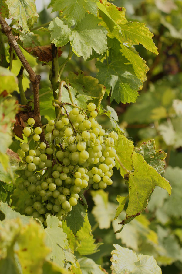 Grapes on a vine. White grapes growing on a grapevine in the sunshine stock photos