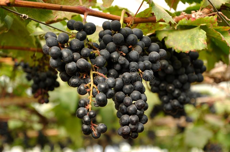 Download Grapes on the vine stock image. Image of harvest, color - 25866393