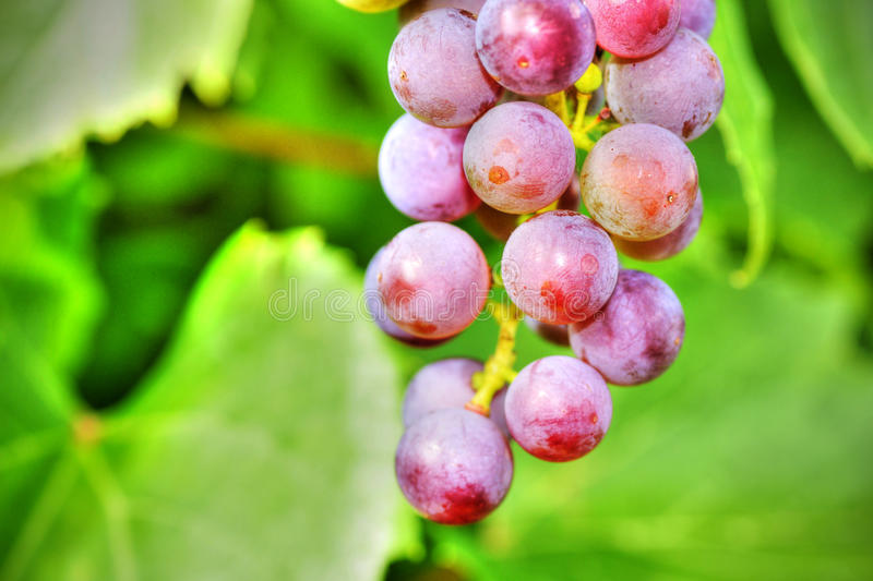 Download Grapes on vine stock photo. Image of color, grapevine - 26410630