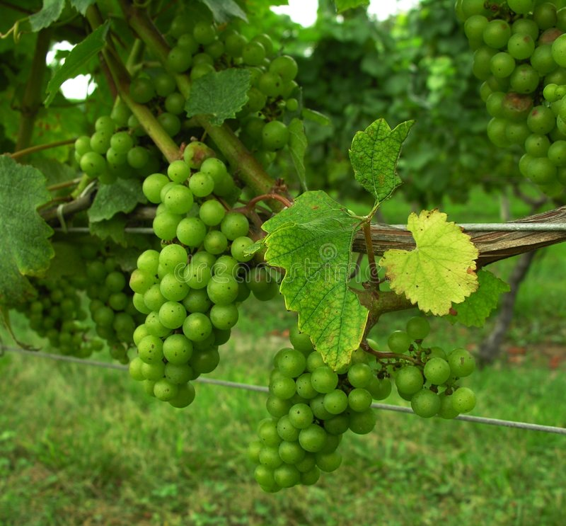 Download Grapes on vine. stock photo. Image of england, summer, farming - 299944