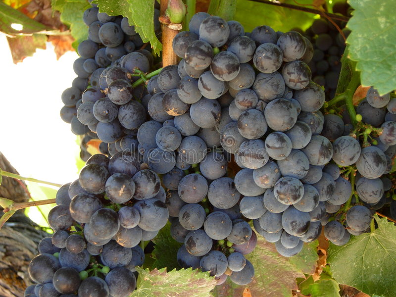 Download Grapes Of The Vine stock photo. Image of cluster, bush - 5006146