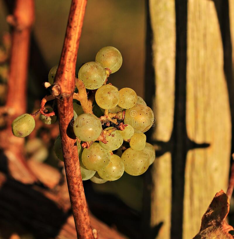 Grapes On Vine Free Public Domain Cc0 Image