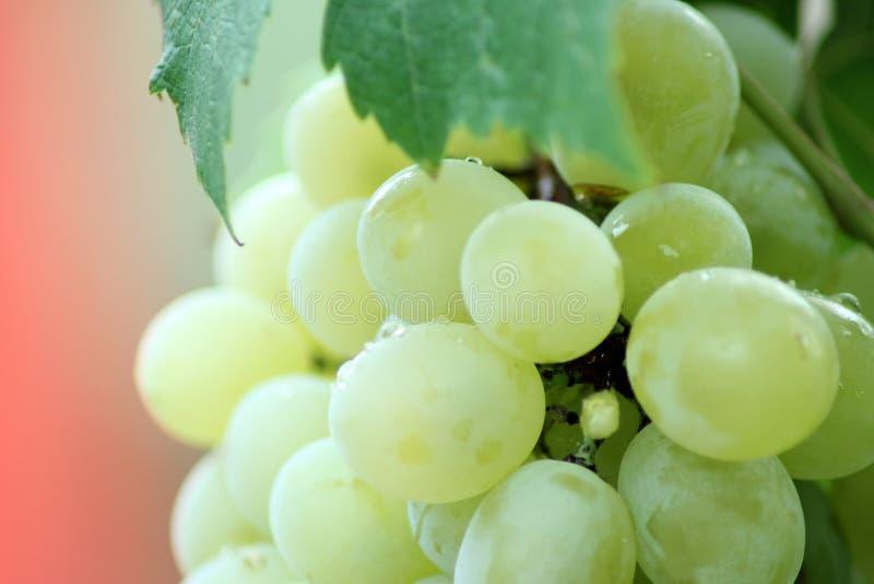 Grapes On Vine Free Public Domain Cc0 Image