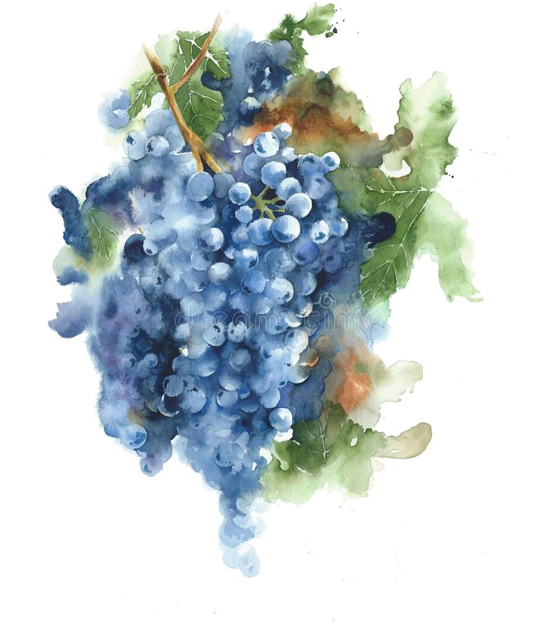 Grapes on a vine black grapes harvest season wine healthy food watercolor painting illustration isolated on white background stock illustration