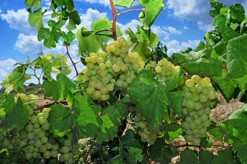 Grapes on a vine. Closeup some bunch of ripe grapes on a vine, shortly before harvest royalty free stock image