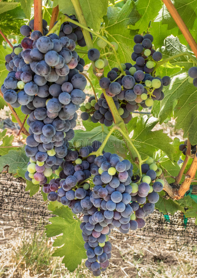 Grapes on the vine. Grapes growing on the vine at a vineyard in southern Oregon stock photo