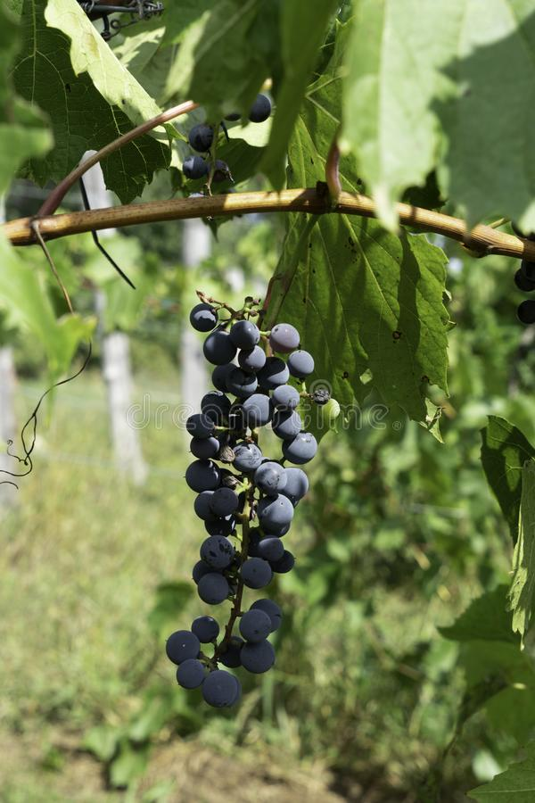 Grapes on vine waiting to be harvested stock photography