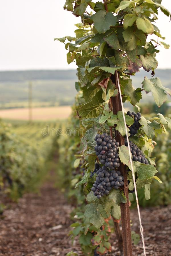 Grapes on the vine in Champagne royalty free stock photo