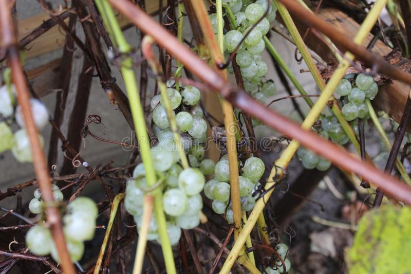 Grapes and vines after the rain with water droplets stock image