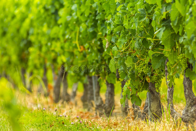 Grapes vines vineyard Bordeaux France royalty free stock image