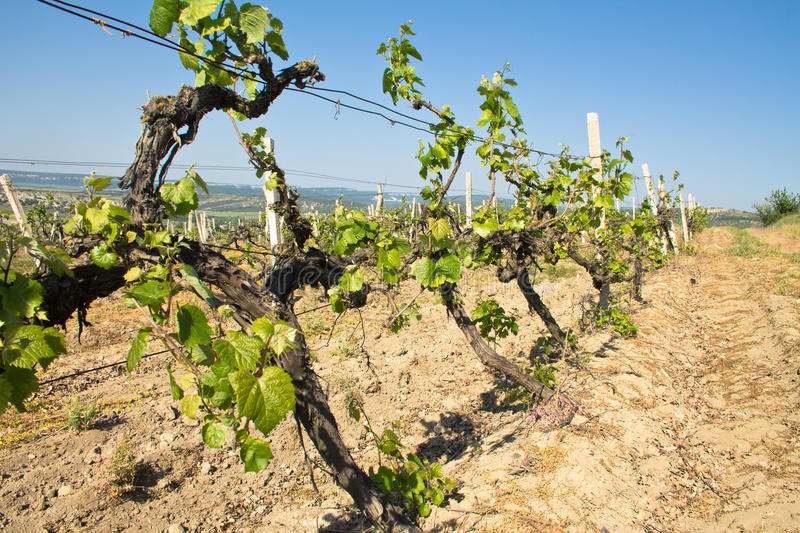 Grapes vines in vineyard during spring royalty free stock images