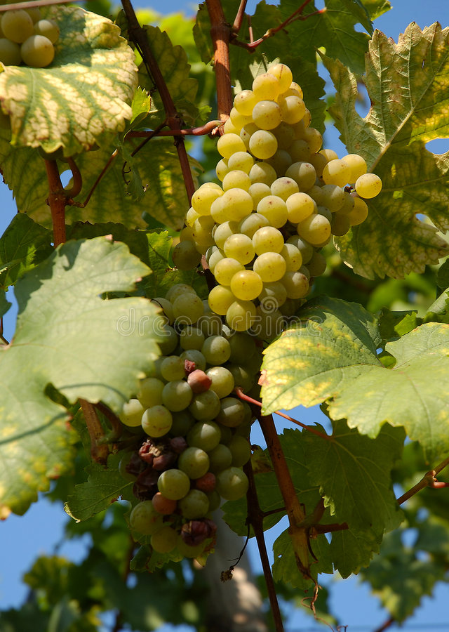 Grapes | Vineyard stock photos