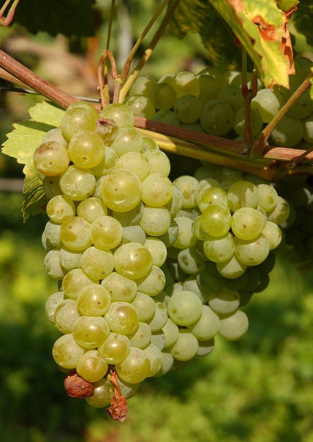Grapes | Vineyard stock images