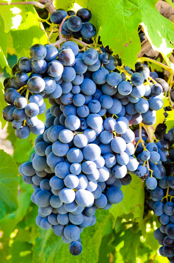 Download Grapes In Vineyard Royalty Free Stock Photo - Image: 26265275