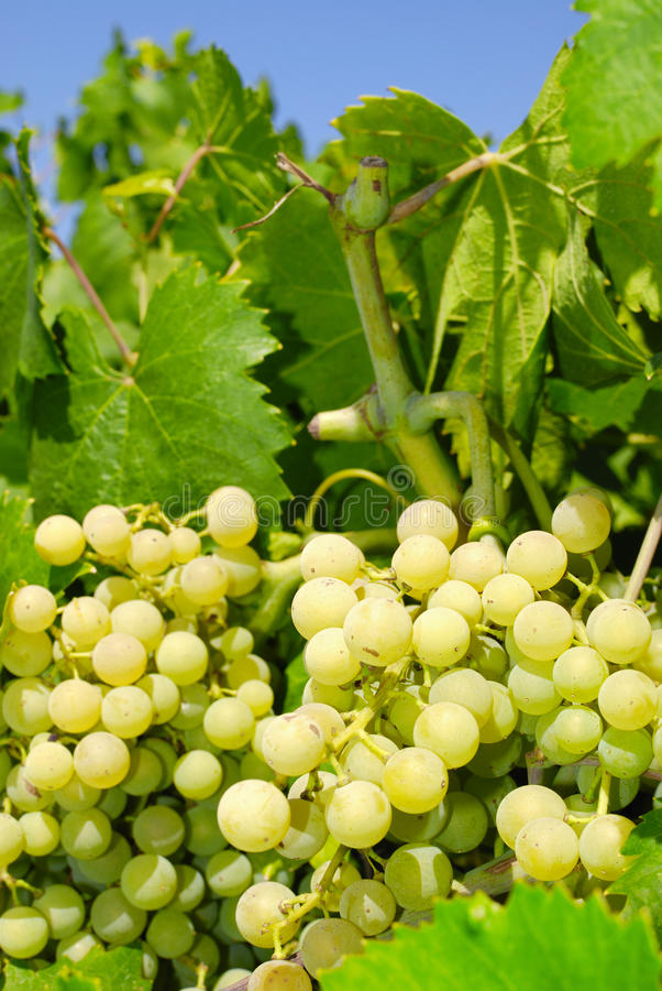 Download Grapes In A Vineyard In Central Italy Stock Photo - Image: 31120090