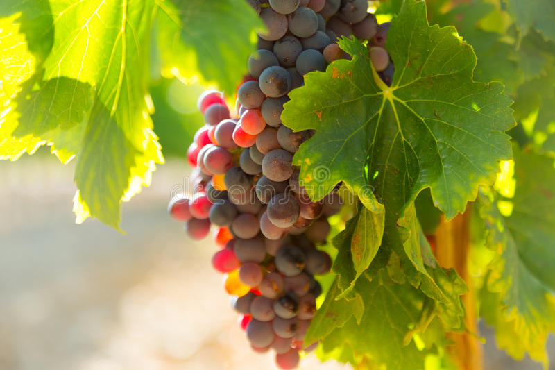 Grapes at vineyards plant in sunny august day royalty free stock photography