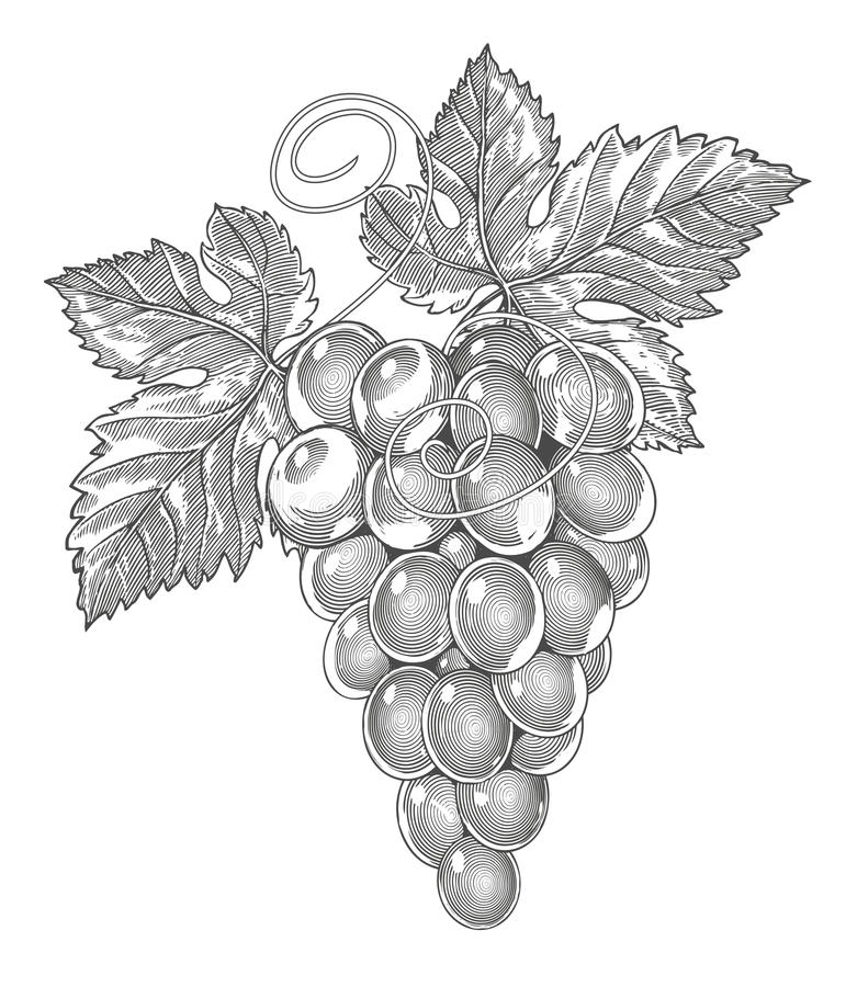 Grapes in vintage engraved style vector illustration