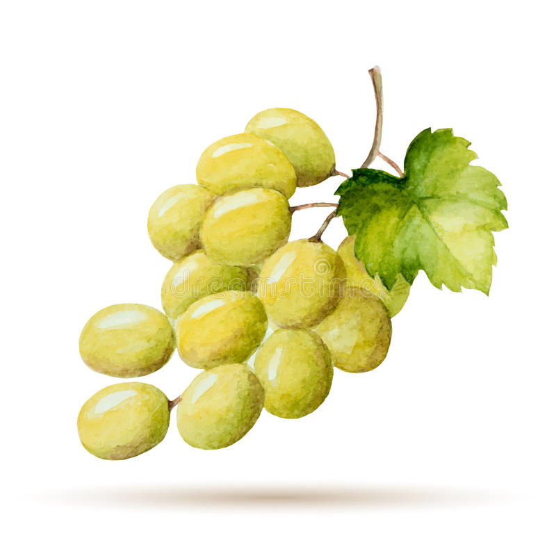 Grapes. Watercolor branch yellow grapes, vector illustration isolated on white background royalty free illustration