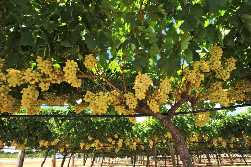 Download Grapes in wine yard stock photo. Image of australia, delicious - 26109450
