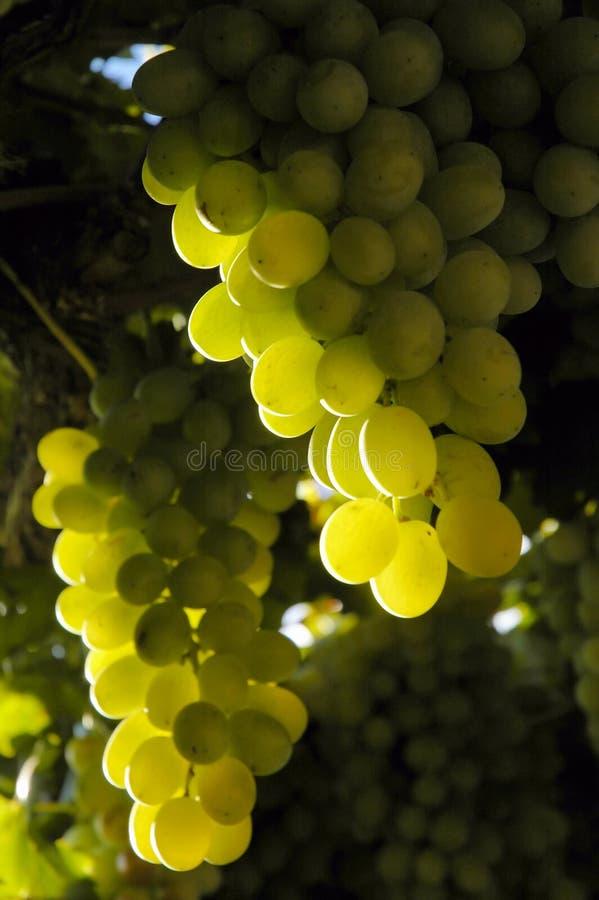 Grapes1 fotos de stock