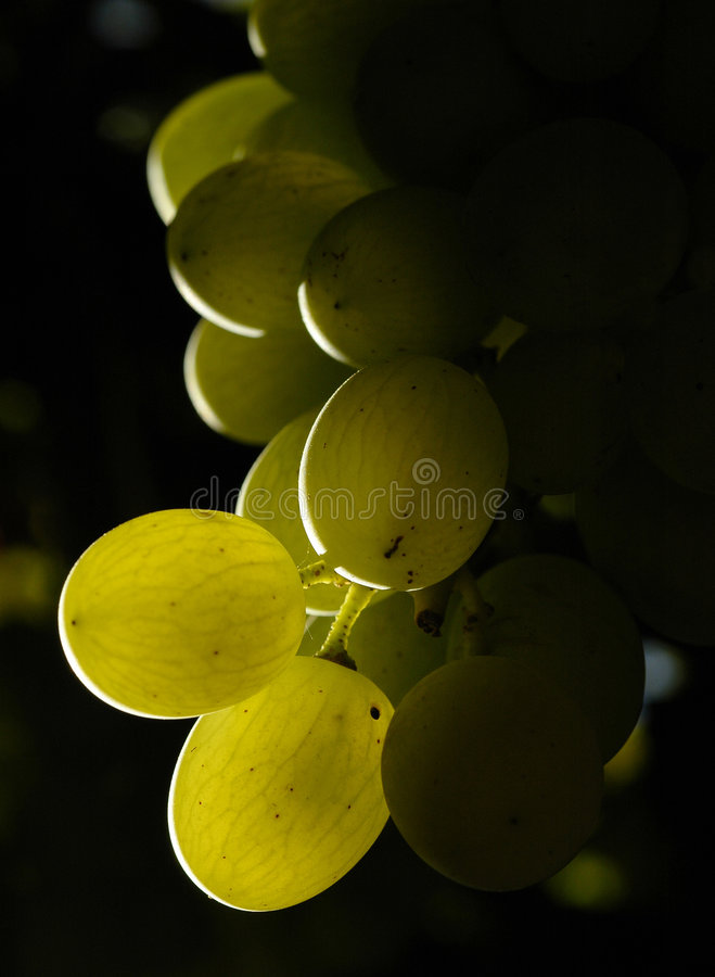 Download Grapes2 stock image. Image of cultivar, green, vintage - 691775