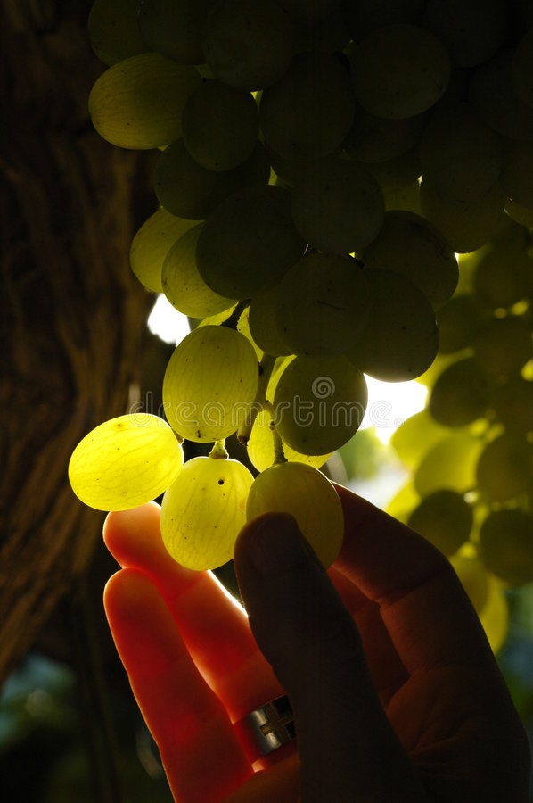 Grapes4 royalty-vrije stock afbeelding
