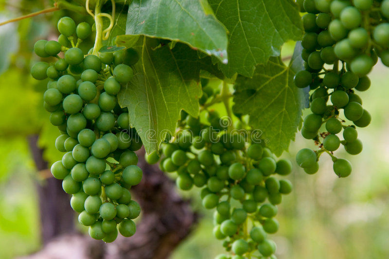 Grapevine. Of Muller-Thurgau from vineyard in wine region called Velke Zernoseky (north of the Czech Republic).  has been growing here from the 13th century stock photos