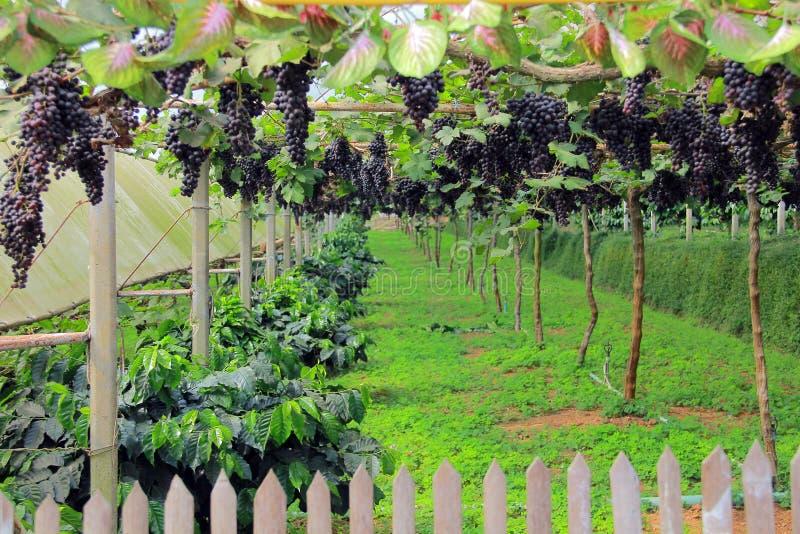 grapevine стоковое изображение rf